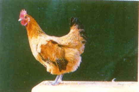 品系:S 翼號 G566 - 台灣保種畜禽圖譜 p31