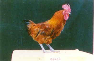 品系:S 翼號 R4213 - 台灣保種畜禽圖譜 p31
