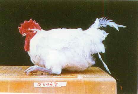 品系:W 翼號 R3445 - 台灣保種畜禽圖譜 p32