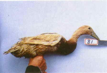 褐色菜鴨 腳號:81 - 台灣保種畜禽圖譜 p36