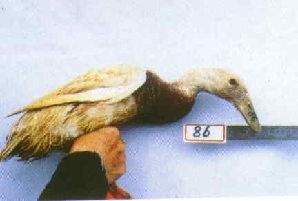 褐色菜鴨 腳號:86 - 台灣保種畜禽圖譜 p36