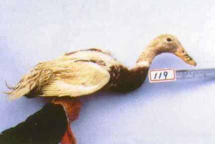 褐色菜鴨 腳號:119 - 台灣保種畜禽圖譜 p36