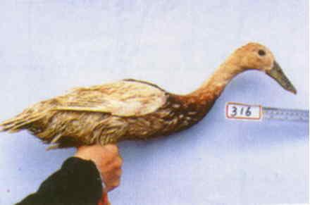 褐色菜鴨 腳號:316 - 台灣保種畜禽圖譜 p36