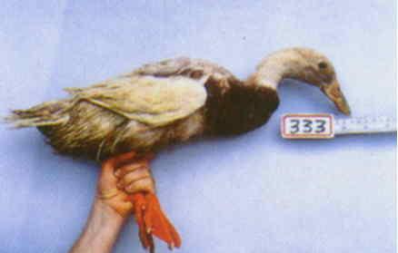 褐色菜鴨 腳號:333 - 台灣保種畜禽圖譜 p36