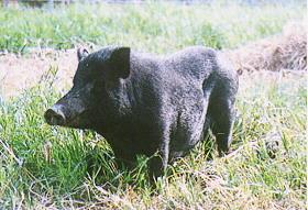 蘭嶼豬:小耳直立、全黑-畜產種原庫及基因交流p31