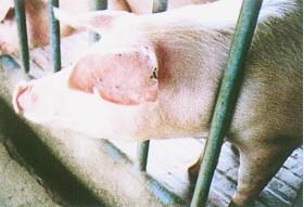 豬細胞質效應 - 藍瑞斯豬:大耳下垂、全白