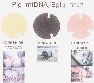豬細胞質效應 - 細胞質環狀粒線體DNA可被酵素 Beg 1 II分切成三型(畜產種原庫及基因交流p30)