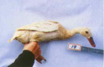 褐色菜鴨 種母鴨群 腳號:19 - 台灣保種畜禽圖譜 p39