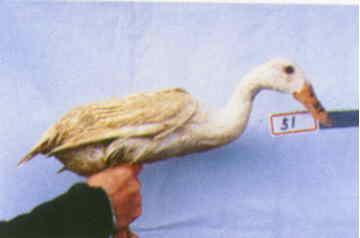 褐色菜鴨 種母鴨群 腳號:51 - 台灣保種畜禽圖譜 p39