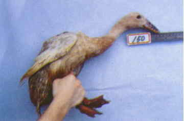 褐色菜鴨 種母鴨群 腳號:150 - 台灣保種畜禽圖譜 p39