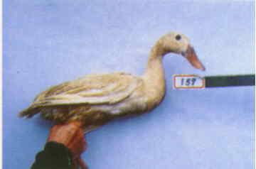 褐色菜鴨 種母鴨群 腳號:159 - 台灣保種畜禽圖譜 p39