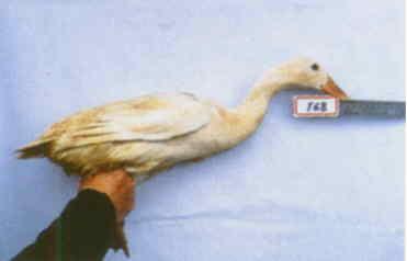 褐色菜鴨 種母鴨群 腳號:168 - 台灣保種畜禽圖譜 p39