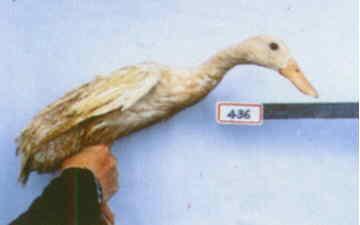 褐色菜鴨 種母鴨群 腳號:436 - 台灣保種畜禽圖譜 p40