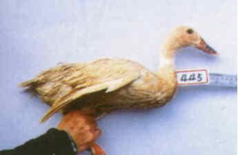 褐色菜鴨 種母鴨群 腳號:445 - 台灣保種畜禽圖譜 p41