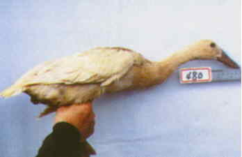 褐色菜鴨 種母鴨群 腳號:480 - 台灣保種畜禽圖譜 p41