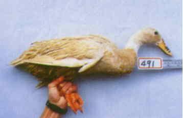 褐色菜鴨 種母鴨群 腳號:491 - 台灣保種畜禽圖譜 p41