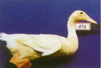 褐色菜鴨 種母鴨群 腳號:494 - 台灣保種畜禽圖譜 p41