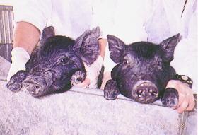 豬細胞質效應 - 核轉置豬具有藍瑞斯豬細胞質粒線體DNA者耳朵就較大(畜產種原庫及基因交流p32)