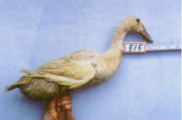 褐色菜鴨 種母鴨群 腳號:515 - 台灣保種畜禽圖譜 p41