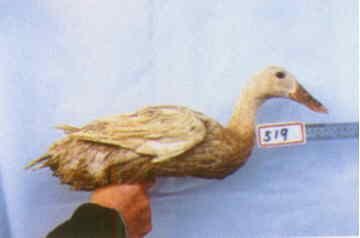 褐色菜鴨 種母鴨群 腳號:519 - 台灣保種畜禽圖譜 p41