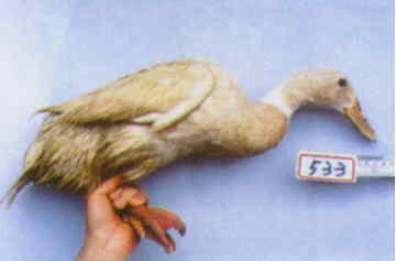 褐色菜鴨 種母鴨群 腳號:533 - 台灣保種畜禽圖譜 p41
