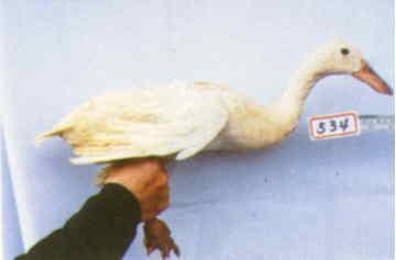 褐色菜鴨 種母鴨群 腳號:534 - 台灣保種畜禽圖譜 p41
