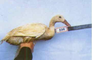 褐色菜鴨 種母鴨群 腳號:536 - 台灣保種畜禽圖譜 p41