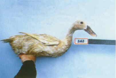 褐色菜鴨 種母鴨群 腳號:543 - 台灣保種畜禽圖譜 p42