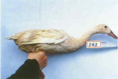 褐色菜鴨 種母鴨群 腳號:545 - 台灣保種畜禽圖譜 p42
