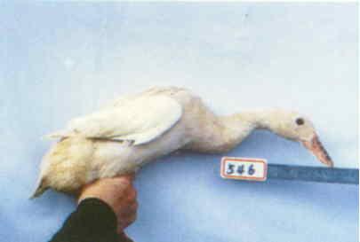 褐色菜鴨 種母鴨群 腳號:546 - 台灣保種畜禽圖譜 p42