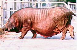 桃園豬外表特徵 - 母豬(畜產種原庫及基因交流p3)