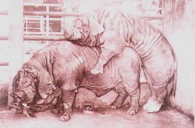 桃園豬繁殖特性 - 性慾強(1)(畜產種原庫及基因交流p5)
