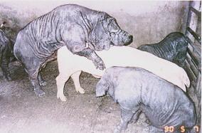 桃園豬繁殖特性 - 性慾強(2)(畜產種原庫及基因交流p5)
