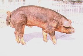 桃園豬與杜洛克豬雜交 - 杜洛克公豬)(畜產種原庫及基因交流p7)