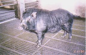 蘭嶼豬迷你特性之選育 - 優異種公豬(畜產種原庫及基因交流p13)