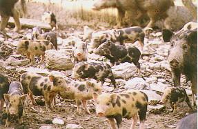 蘭嶼豬花色系之形成  - 記錄白色斑和棕色斑的體表位置...(1) (畜產種原庫及基因交流p15)