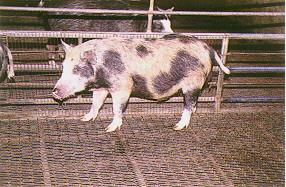 蘭嶼豬花色系之形成  - 記錄白色斑和棕色斑的體表位置...(2) (畜產種原庫及基因交流p15)