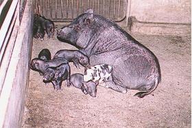 蘭嶼豬花色系之形成  - 迷你特性之選育計畫中... (1) (畜產種原庫及基因交流p16)