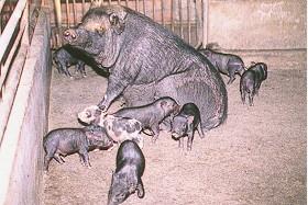 蘭嶼豬花色系之形成  - 迷你特性之選育計畫中... (2) (畜產種原庫及基因交流p16)