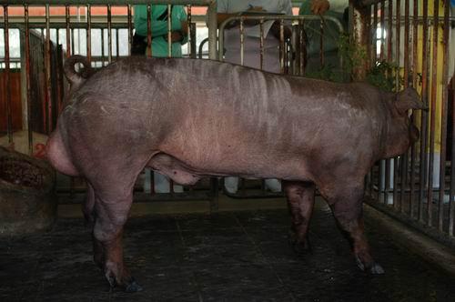 中央畜產會200507期D0669-01體型-全身相片
