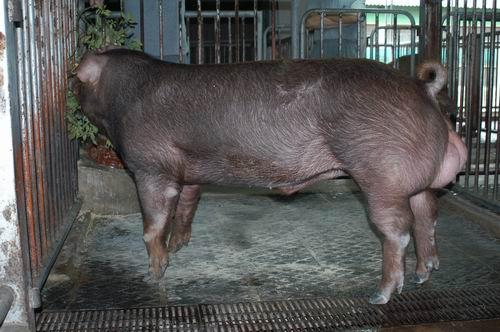 中央畜產會200509期D0847-08體型-全身相片