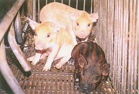 迷彩豬之選育 (1)(畜產種原庫及基因交流p19)