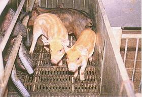 迷彩豬之選育 (3)(畜產種原庫及基因交流p19)