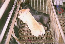 迷彩豬之選育 (5)(畜產種原庫及基因交流p19)