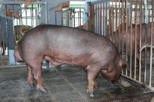中央畜產會200509期D1214-03體型-全身相片