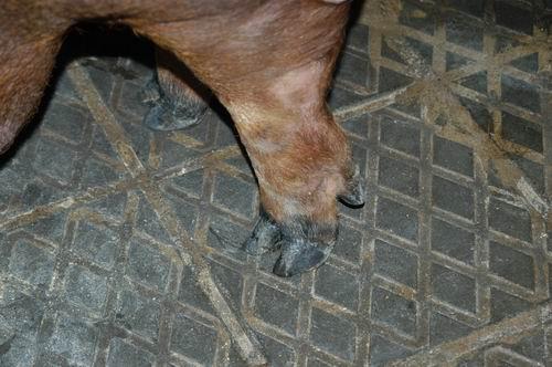 中央畜產會200509期D1214-04體型-四肢相片