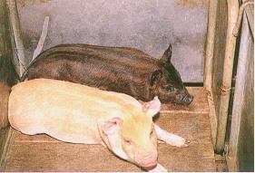 迷彩豬之選育 (6)(畜產種原庫及基因交流p19)