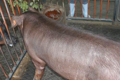 中央畜產會200509期D1216-04體型-體軀相片