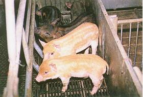 迷彩豬之選育 (7)(畜產種原庫及基因交流p20)