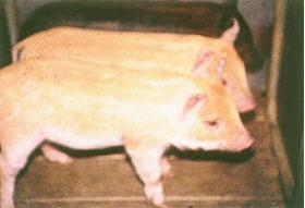 迷彩豬之選育 (8)(畜產種原庫及基因交流p20)